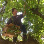 梅を収穫する